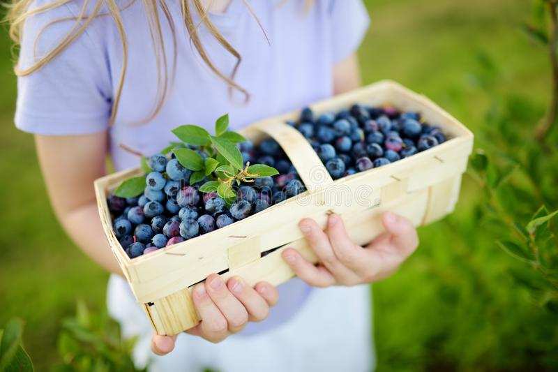 采摘在有机蓝莓农场的逗人喜爱的小女孩新鲜的莓果在温暖和晴朗的夏日 新鲜的健康有机食品为 免版税库存图片
