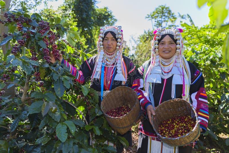 采摘在花束的Akha妇女红色咖啡豆 免版税库存图片