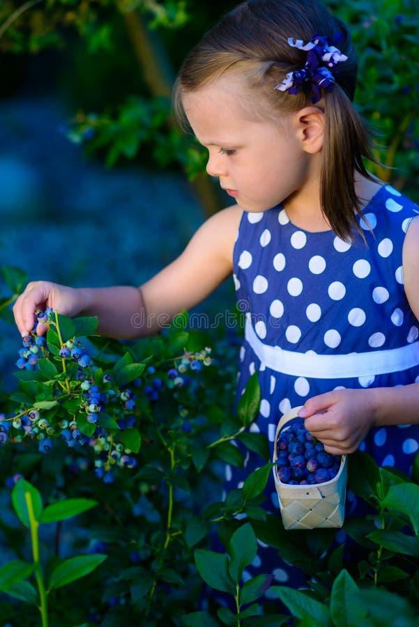 采摘在蓝莓领域的小女孩新鲜的莓果-在organi 免版税库存照片
