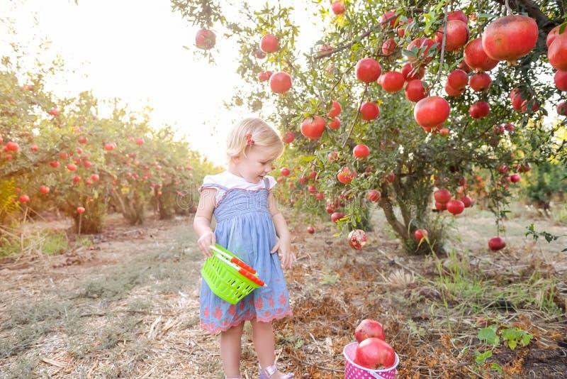 采摘成熟pomegrate的逗人喜爱的矮小的blondy女婴画象结果实入篮子在庭院里 收获和家庭时间概念 库存照片
