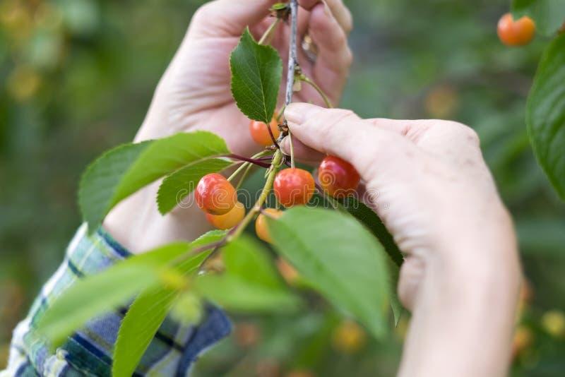 采摘新鲜的樱桃的手妇女特写镜头 免版税库存照片