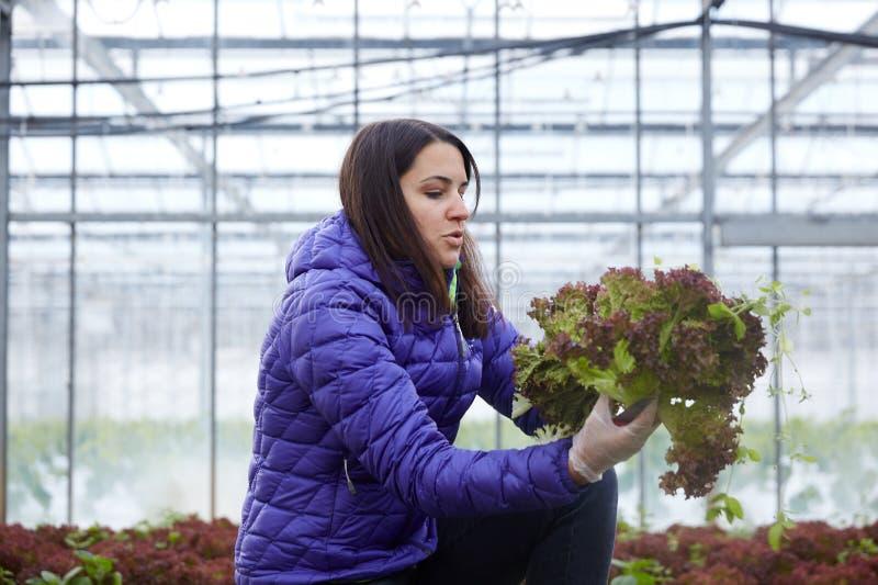 采摘有机菜的妇女 免版税图库摄影