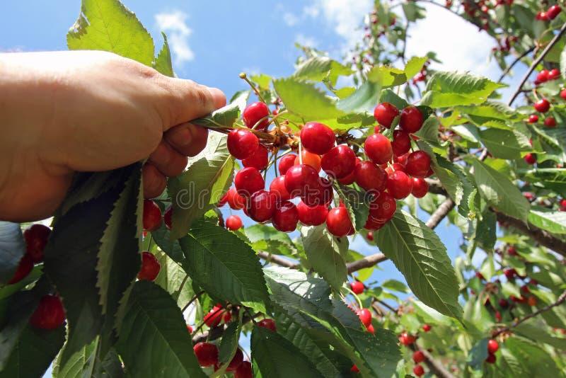 采摘水多的樱桃的手在从一个绿色分支的夏天 免版税图库摄影