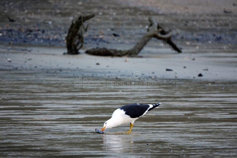 采摘淡菜的海鸥在新西兰的南岛的Kaiteriteri 免版税库存图片