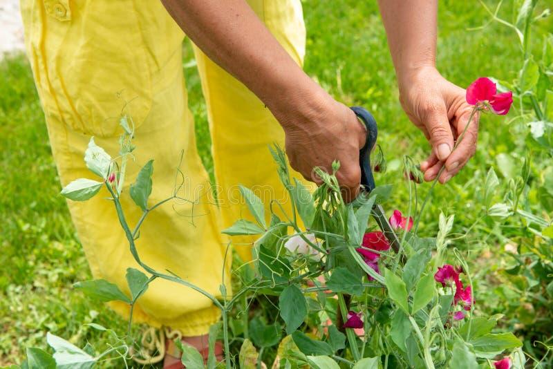 采摘花的妇女在庭院里 库存图片