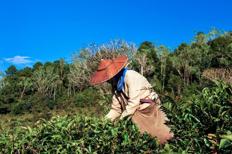 采摘茶叶子的茶农业学家 图库摄影