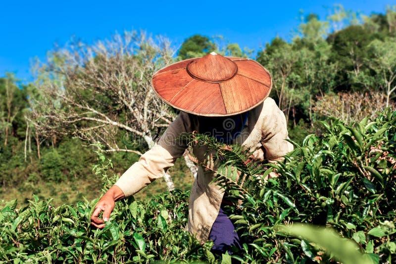 采摘茶叶子的茶农业学家 库存照片
