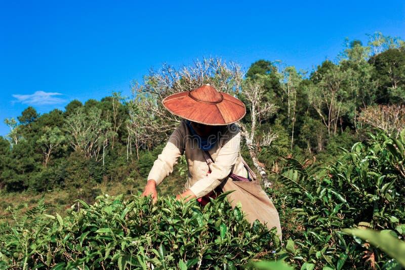 采摘茶叶子的茶农业学家 免版税库存图片