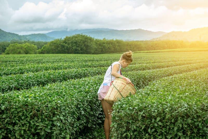 采摘茶叶的年轻女人在种植园 库存图片