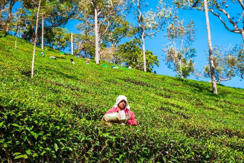采摘茶叶,印度的妇女 库存图片