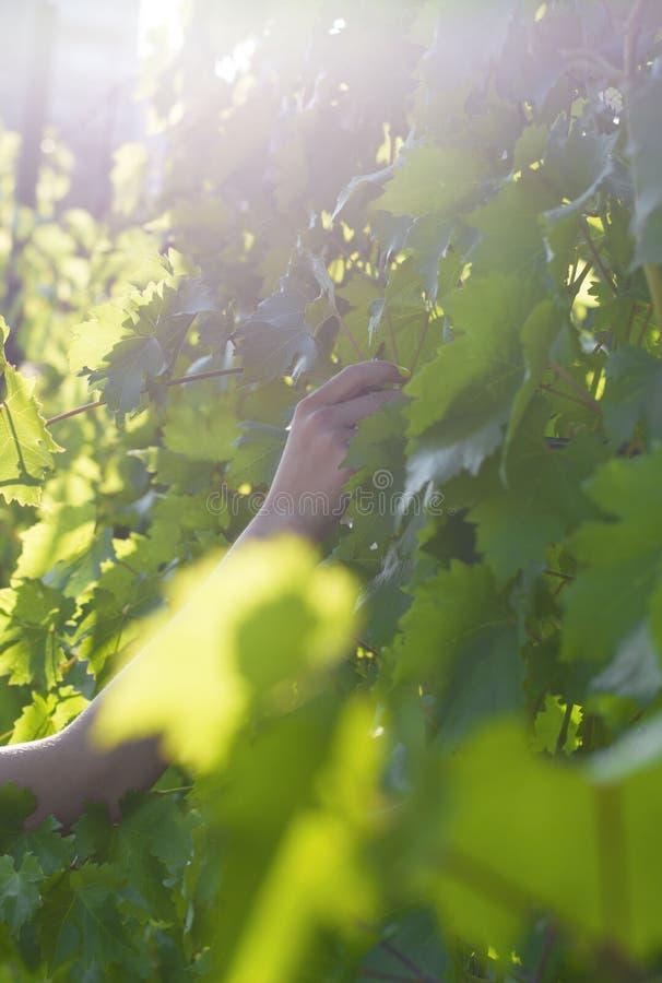 采摘葡萄的女孩的手 收集葡萄 ? 太阳的强光 藤在女孩采摘的sune手离开 免版税库存图片