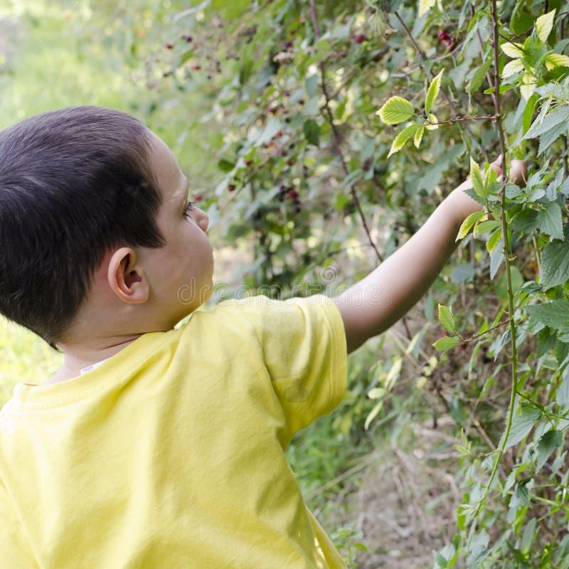 采摘野生莓果的孩子 库存图片