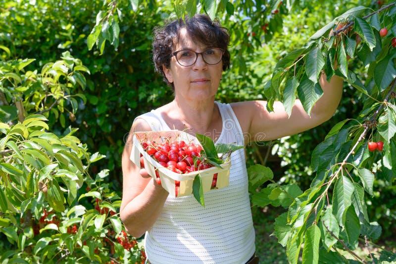 采摘从树的妇女红色樱桃在夏天庭院里 免版税图库摄影