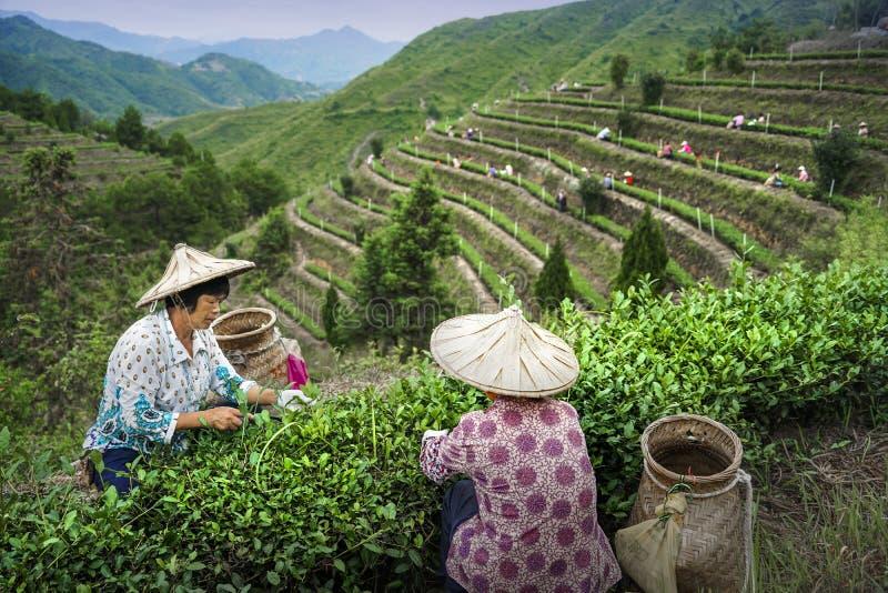 采撷茶 免版税图库摄影