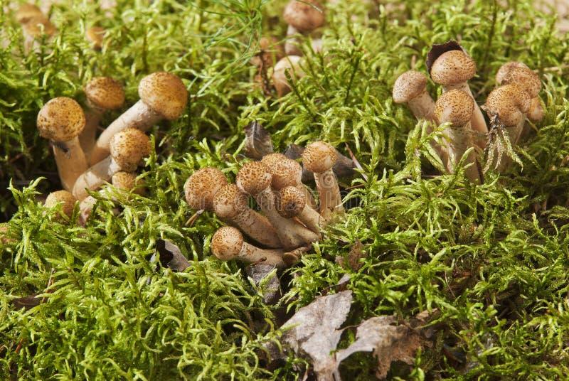 采蘑菇在树桩的蜂蜜伞菌 免版税库存图片