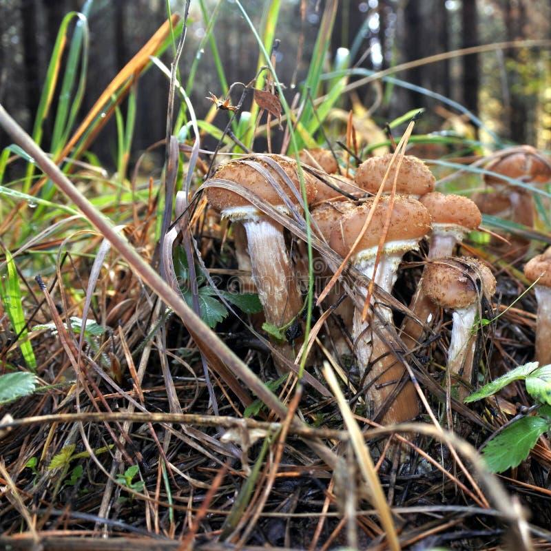 采蘑菇在秋天森林特写镜头的蜂蜜伞菌 库存图片