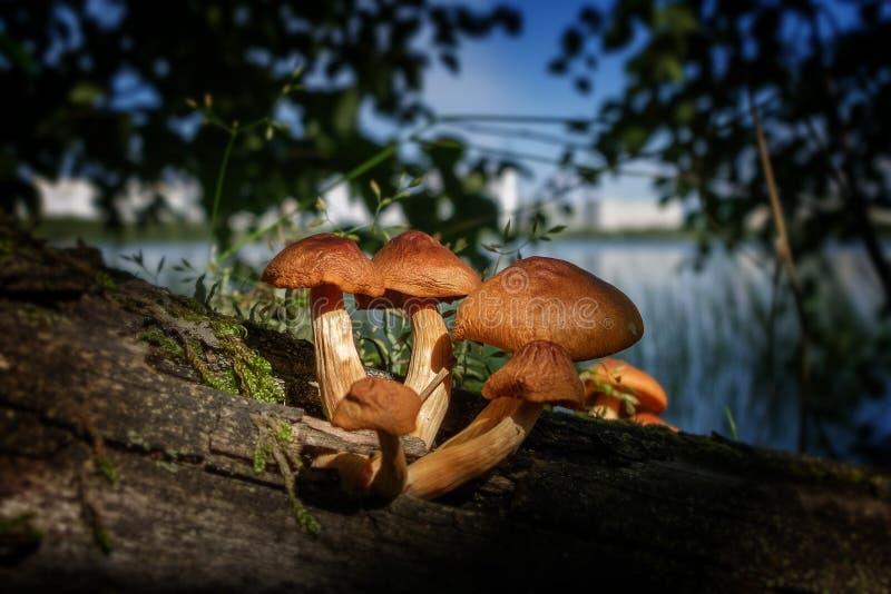 采蘑菇毒 库存图片