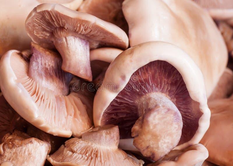 采蘑菇shitake 图库摄影