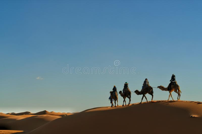 巴巴里人骆驼 库存照片