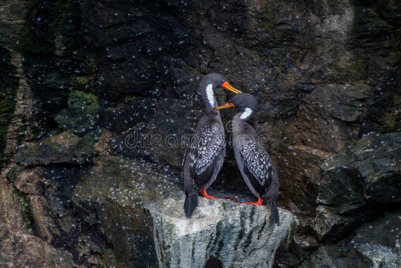 里尔鸬鹚夫妇在Humboltd企鹅国家公园 免版税库存图片