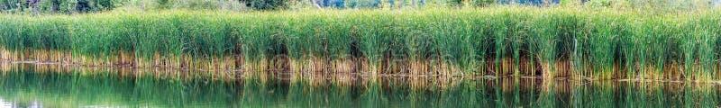 里德、薹或者芦苇在湖或池塘 免版税库存图片
