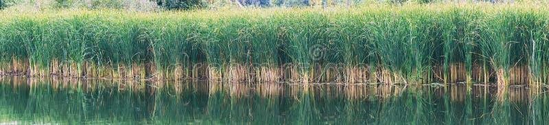 里德、薹或者芦苇在湖或池塘 库存照片