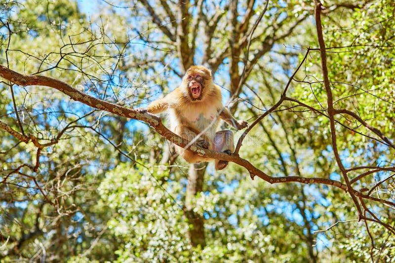 巴贝里猿在雪松森林里在北摩洛哥 免版税库存图片
