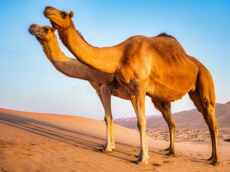 里瓦沙漠的骆驼 免版税库存图片