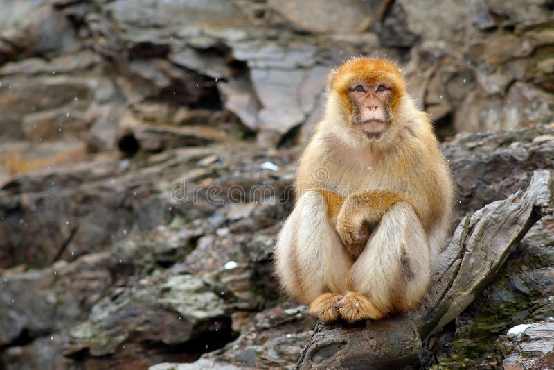 巴贝里短尾猿,猕猴属sylvanus,坐岩石,直布罗陀,西班牙 从自然的野生生物场面 与猴子的冷的冬天 Anim 免版税库存图片