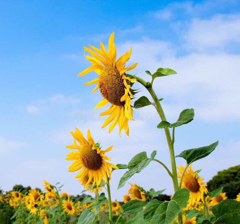 里面所有区大详细资料充分的图象查找被采取的不是种子向日葵是 库存照片