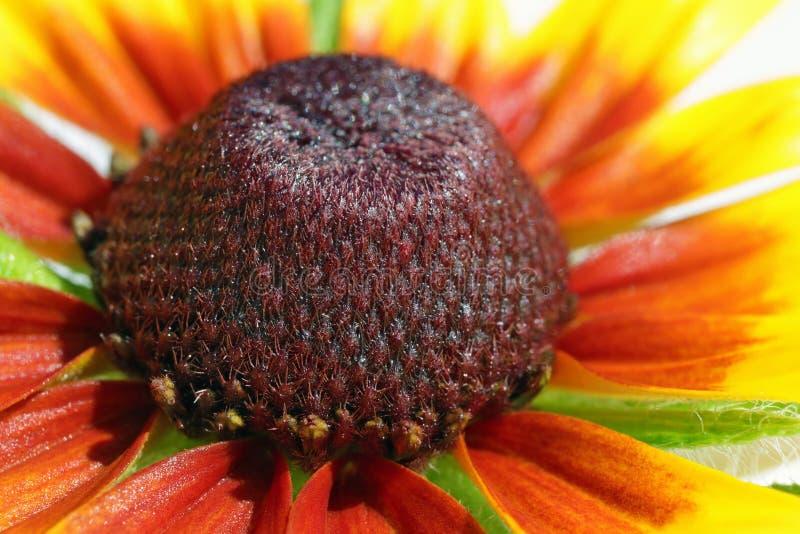 里面黄色sunflowe庭院花超级宏指令 免版税库存照片