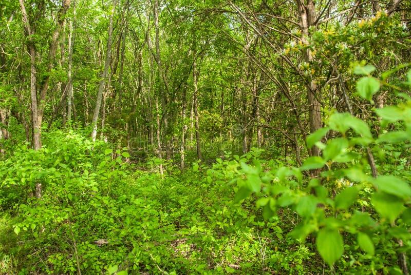 重下木树木繁茂的得克萨斯 免版税库存图片