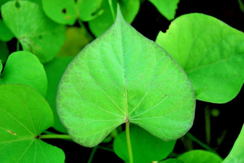 重点叶子塑造了 库存照片