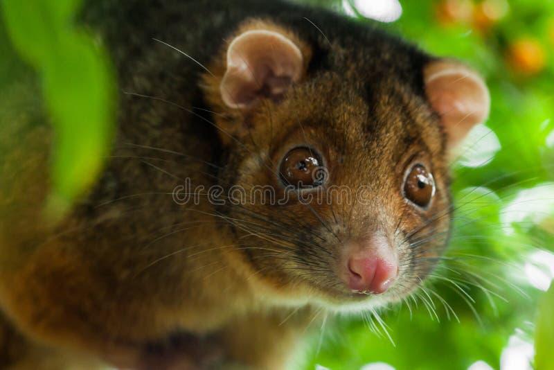 重点浅负鼠的浣熊 库存照片