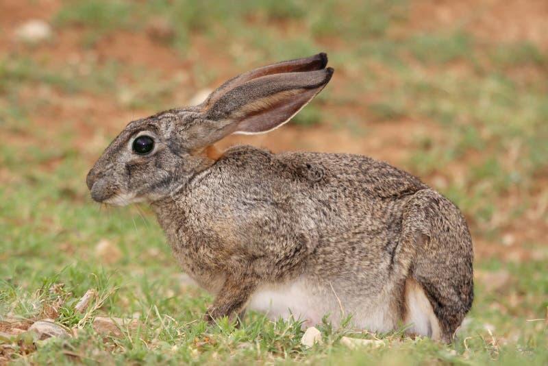 野兔洗刷 免版税图库摄影