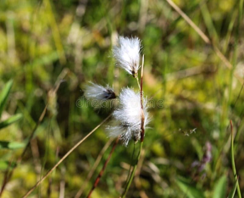 野兔的尾巴cottongrass或丛cottongrass (羊胡子草vaginatum)在沼泽地,开花在春天 免版税库存图片