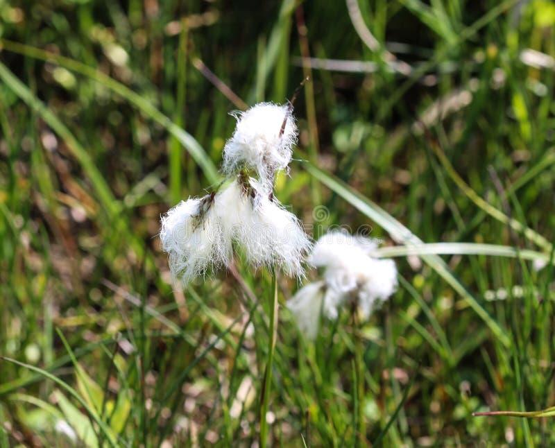 野兔的尾巴cottongrass或丛cottongrass (羊胡子草vaginatum)在沼泽地,开花在春天 免版税库存照片