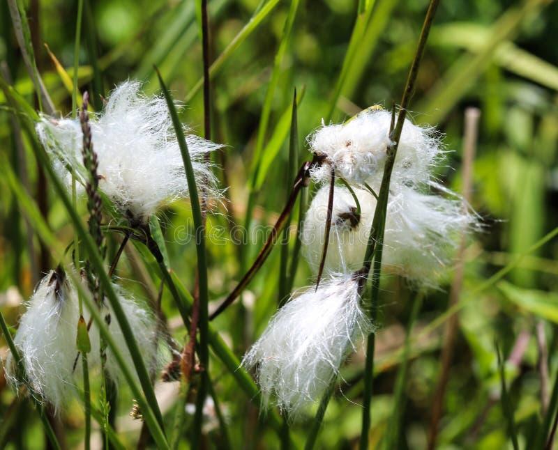 野兔的尾巴cottongrass或丛cottongrass (羊胡子草vaginatum)在沼泽地,开花在春天 库存图片