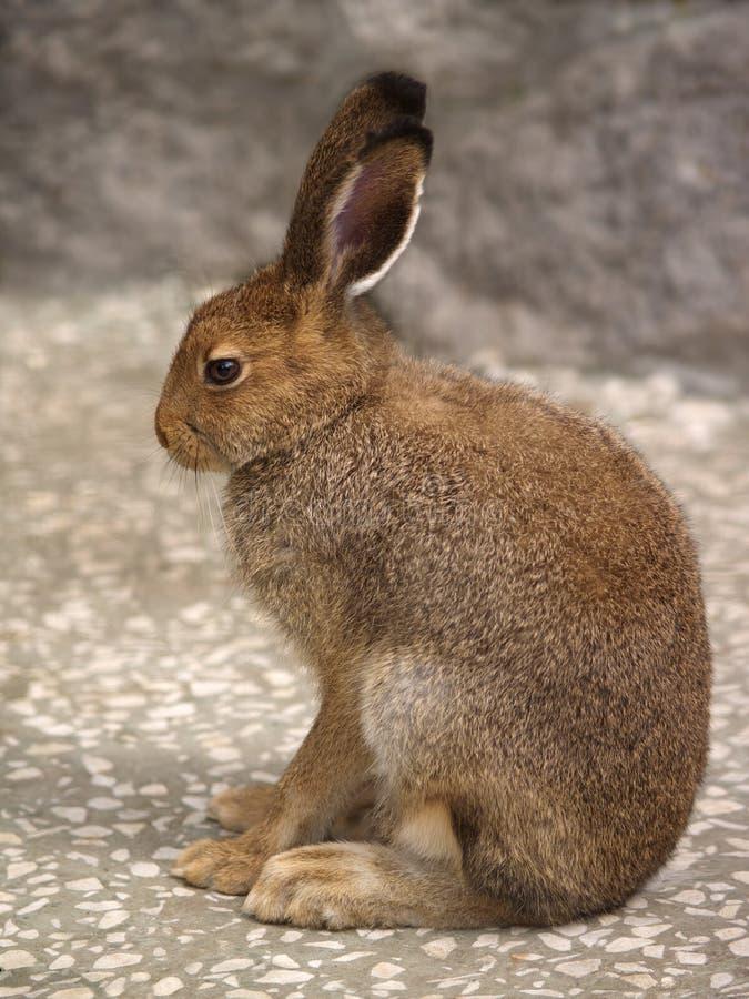 野兔配置文件 免版税库存图片