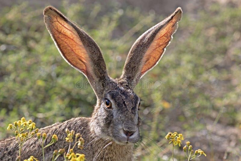 野兔洗刷 库存图片
