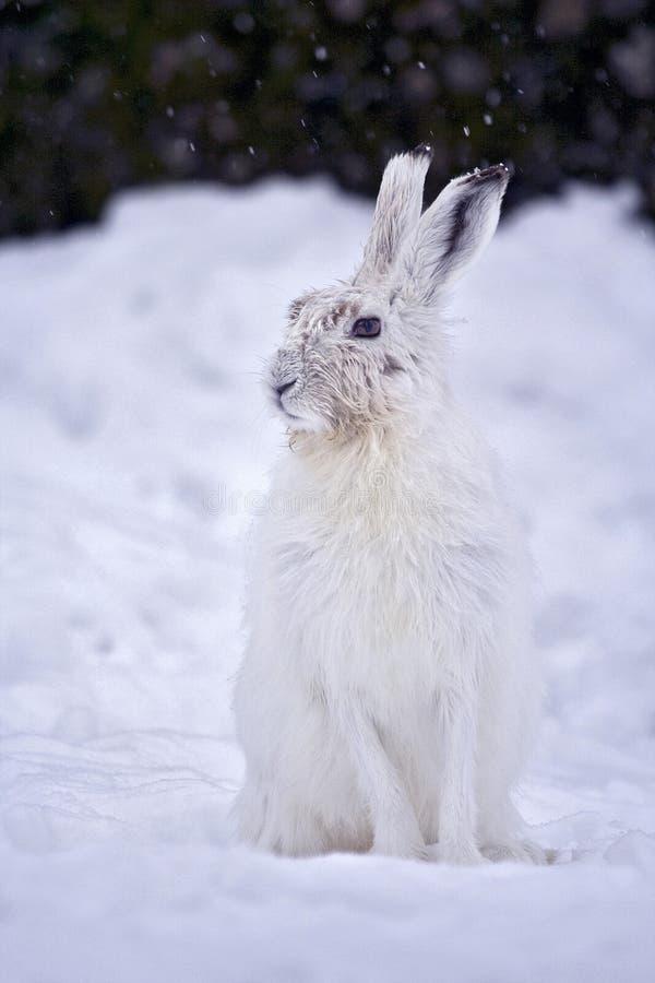 野兔variabile lepre的山 库存图片