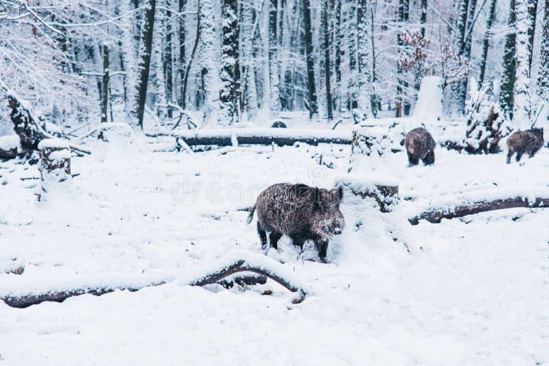 野公猪在冬天森林里 免版税库存图片