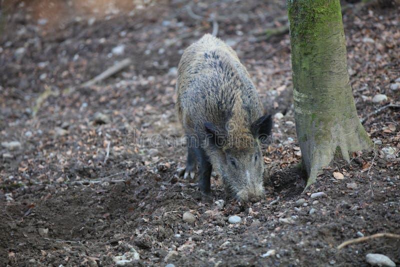野公猪在森林德国里 免版税库存照片