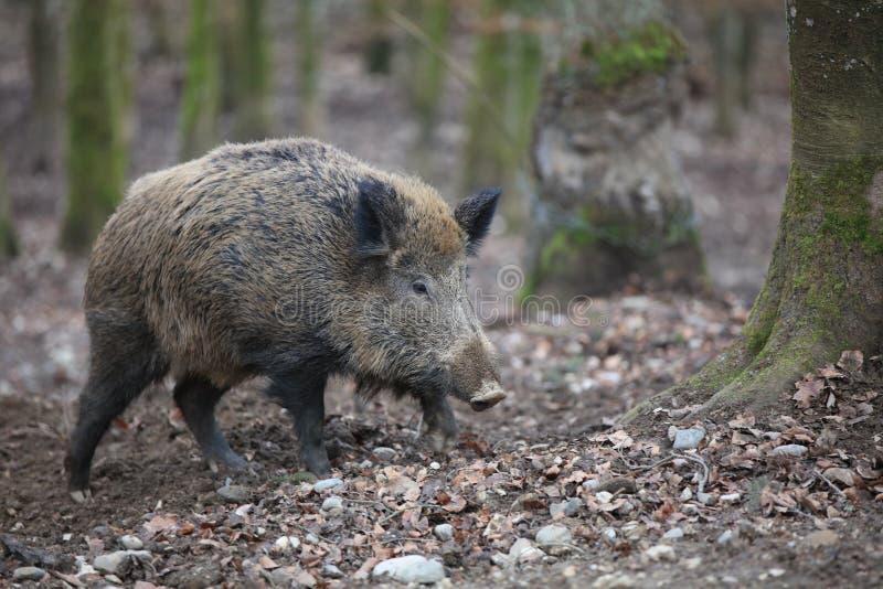 野公猪在森林德国里 库存照片