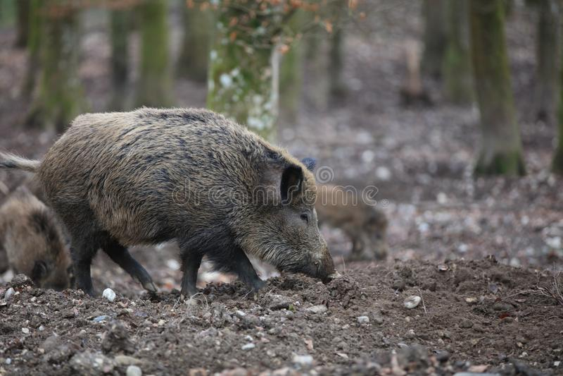 野公猪在森林德国里 免版税库存图片