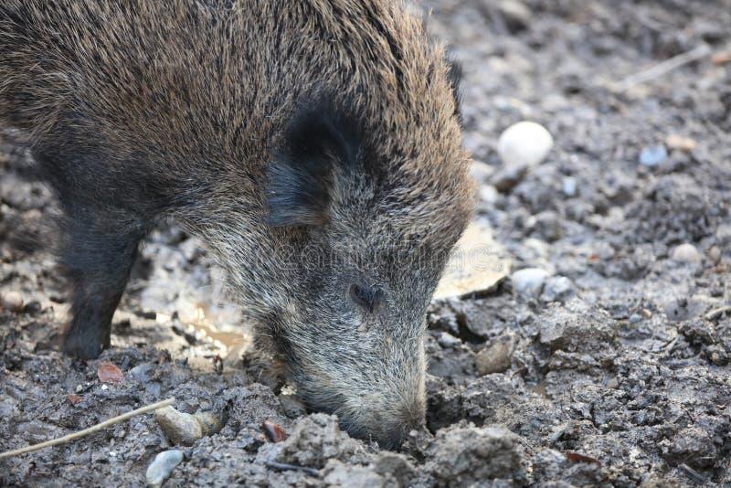 野公猪在森林德国里 库存图片