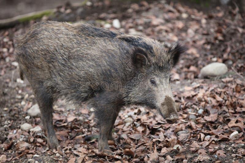 野公猪在森林里 库存照片