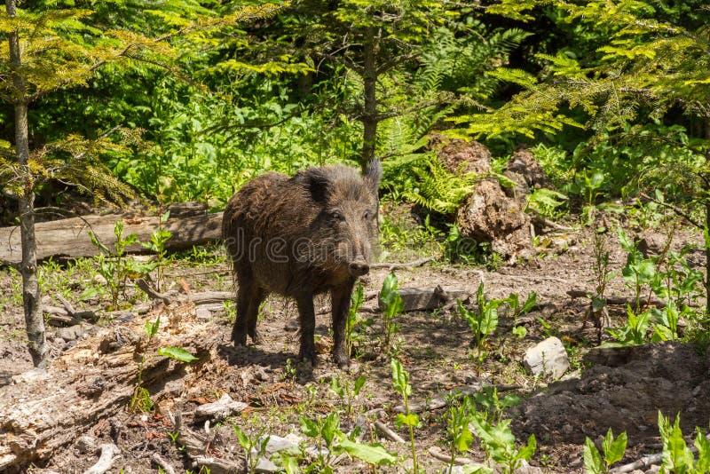 野公猪在森林里 免版税库存照片
