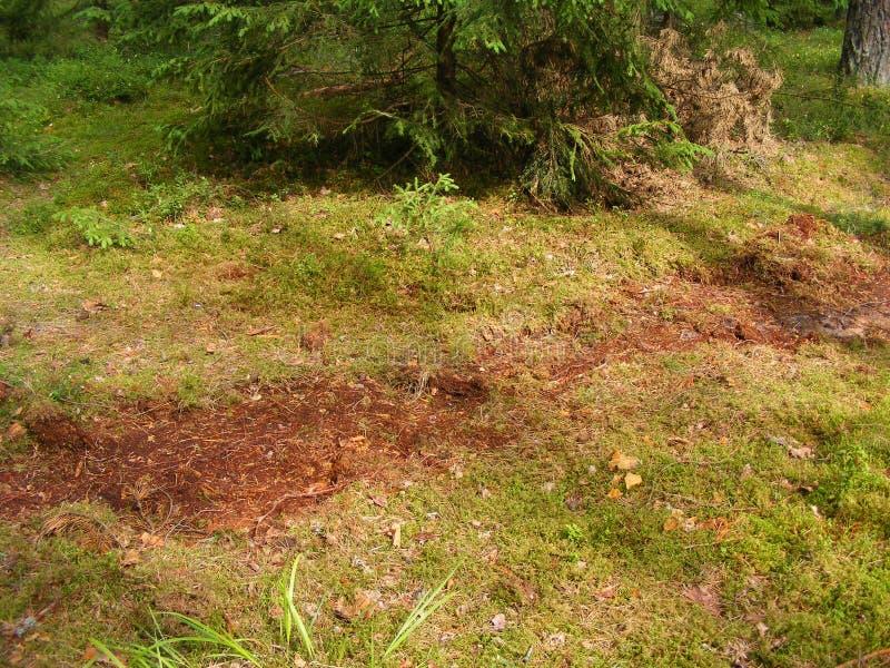 野公猪在橡子的杉木森林里开掘与青苔的土壤 库存图片