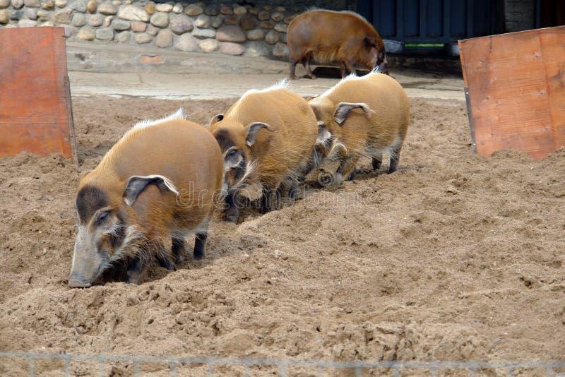 野公猪在莫斯科动物园里 免版税库存照片